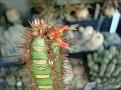 Euphorbia neohubertii