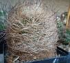 Eriosyce senilis ssp. senilis ( Neoporteria nidus )