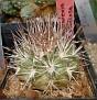 Eriosyce paucicostata ssp. floccosa ( Neoporteria floccosa )
