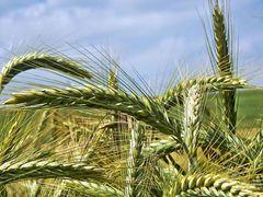 Bauernregel: Soll gedeihen Korn und Wein, muss im Juni warm es sein.