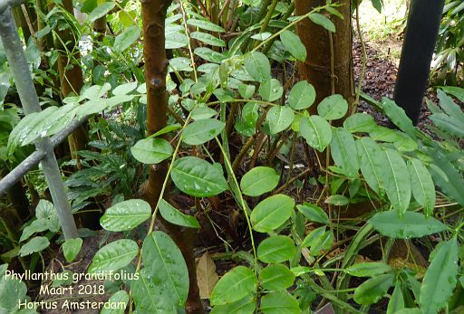 Phyllanthus grandifolius
