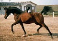 ALGOMEJ #461171 (Celebes x Algonkina, by *Pietuszok) 1973-2004 bay stallion; imported to the USA 1990.