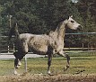 AMBASSADORS PRINCESS SHAMANA #338600 (Daoud El Shedid x Princess Amana) 1982 grey mare bred by PC Breach/ Ambassadors Arabian Stud, Sussex, England; imported to the USA 1985
