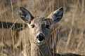 White-tailed Doe in the Field #2