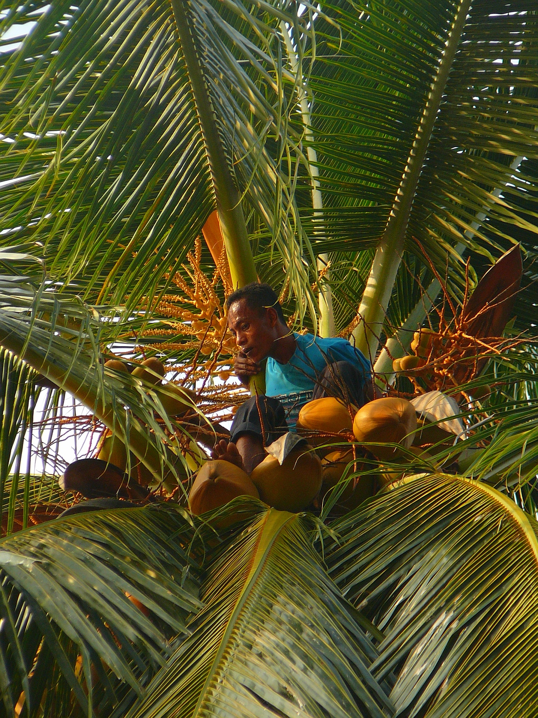 Guy getting coconuts from a really high tree