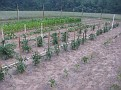 50 staked tomato plants.  Many varieties, including grape, cherry, jet star, pik-red, Rutgers, etc.